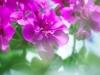 30-geranium