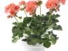 31-geranium