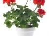 32-geranium