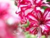 35-geranium