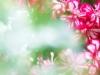 36-geranium