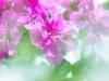 38-geraniume